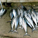 Vers gevangen vis in Kochi